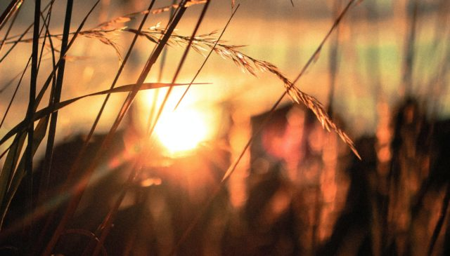 silhouette close-up photo of wheat field